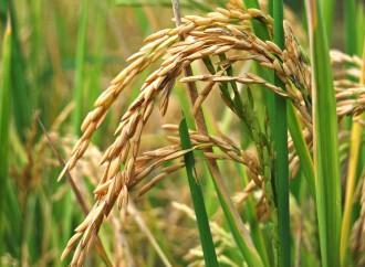 El INEC realizará encuestas sobre el arroz, maíz y frijol de bejuco