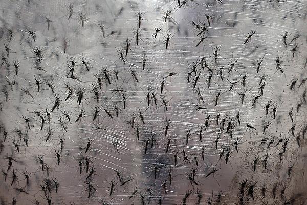 ZIKA: 24 Países de América están siendo afectados por esta enfermedad, incluidos Panamá, con un total de 50  casos confirmados