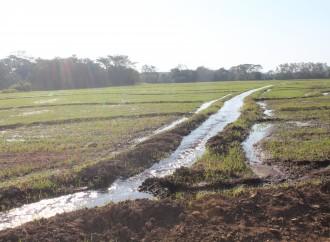 56,127 hectáreas sembradas de arroz garantizan consumo nacional para el 2016