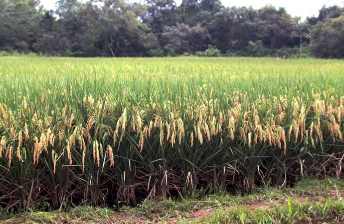 Semilla Certificada de Arroz garantiza mejor rendimiento y producción