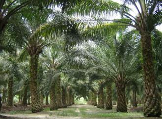 Debatensobre situación de la producción de palma aceitera en Panamá
