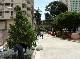 Alcaldía de Panamá dió inicio al remplazo de Palmeras Reales enVía Argentina