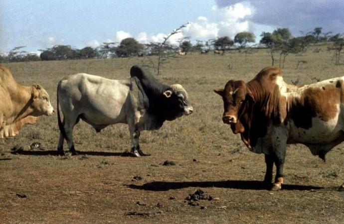OMS pide a la industria alimentaria que deje de utilizar antibióticos en animales sanos