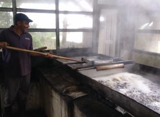 MIDA fomenta e impulsa la producción de panela en Chiriquí