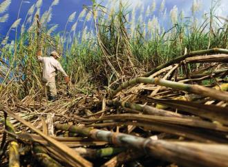 Panamá es excluida por los Estados Unidos de la lista de los países con riesgo de mano de obra infantil dentro del rubro de la caña de azúcar