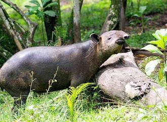 Sin tapires no es posible cumplir  con el Acuerdo de París