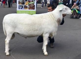 Sector ovino caprino tiene más dedos millones de ejemplares en Colombia