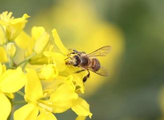 Reducción de población mundial de abejas impacta seguridad alimentaria y nutrición