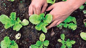 Huertas urbanas mejoran producción de alimentos y ayudan a la descarbonización