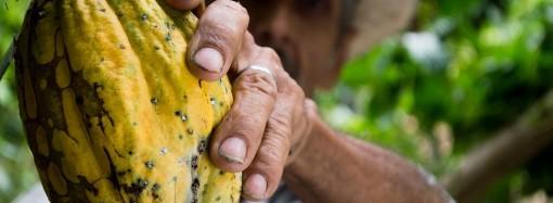 Informe de Procomer: 40 por ciento del cacao tico se produce con métodos orgánicos