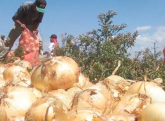 MIDA revisa cadena de producción de cebolla ante posible escasez