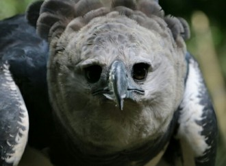 Mañana celebraremos el Cumpleaños del águila harpía Panamá en el Parque Municipal Summit