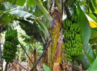 Gabinete aprueba inversión de 100 millones de balboas para reactivar zona bananera en Chiriquí y Bocas del Toro