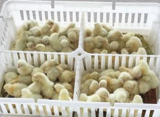 MIDA distribuye Pollos de Engorde en Chiriquí