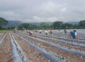 Empresa hondureña exportó 8 mil toneladas de camote producidos con Buenas Prácticas Agrícolas