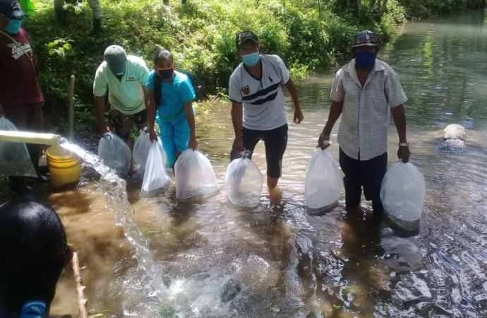 Siembran más de 4 mil alevines de tilapia Dorada en comunidades apartadas de la Comarca Ngäbe Buglé