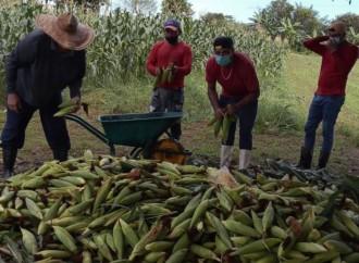 Al ritmo de la saloma cosechan maíz en Llano Marín