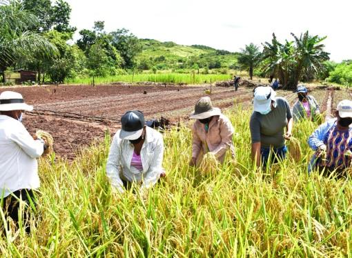 Mujeres de los programas TPC cosecharon arroz orgánico en parcelas de alto rendimiento