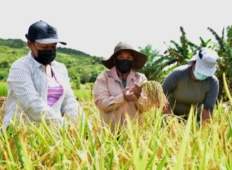 Mujeres de los programas de las transferencias monetarias cosecharon arroz orgánico en parcelas de alto rendimiento